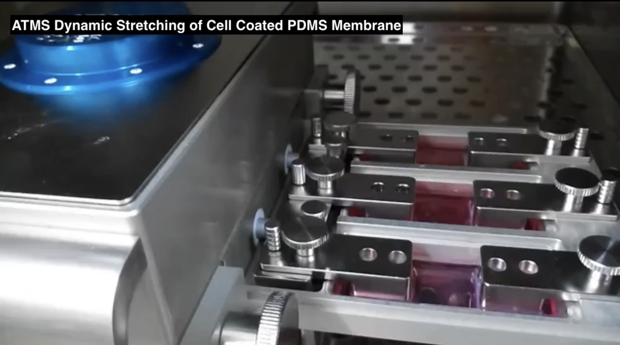 ATMS Dynamic Stretching of Cell Coated PDMS Membrane